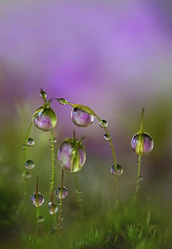 dew droplets on moss with lilac primrose