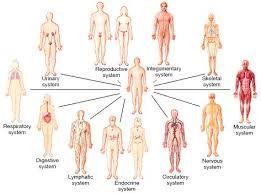 Human Body Organ Systems An Orientation Body Systems Human Body Organs Organ System