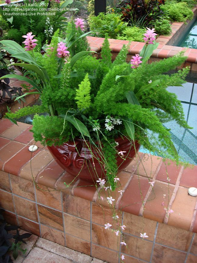 Foxtail Fern W Curcuma And Guara Guara Delicate Light Green Stalks With Light Pink Flowers Tow Container Gardening Flowers Foxtail Fern Container Gardening