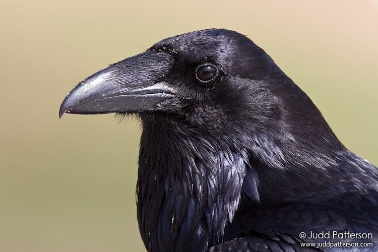 raven bird pictures | Common Raven, Olympic National Park, Washington, United States