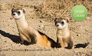 Groupon - $10 Donation to Vaccinate Endangered Ferrets in On Location. Groupon deal price: $10.00