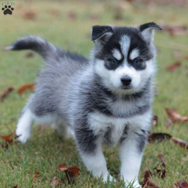 Rocky Beaglier Puppy For Sale In Pennsylvania Pomsky Puppies