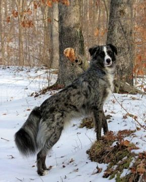 Border Collie Australian Cattle Dog Mix She Looks Like A Fox