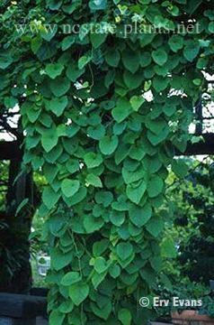 Vines: Aristolochia durior