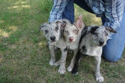 Hangin Tree Pups For Sale For More Information Click On The