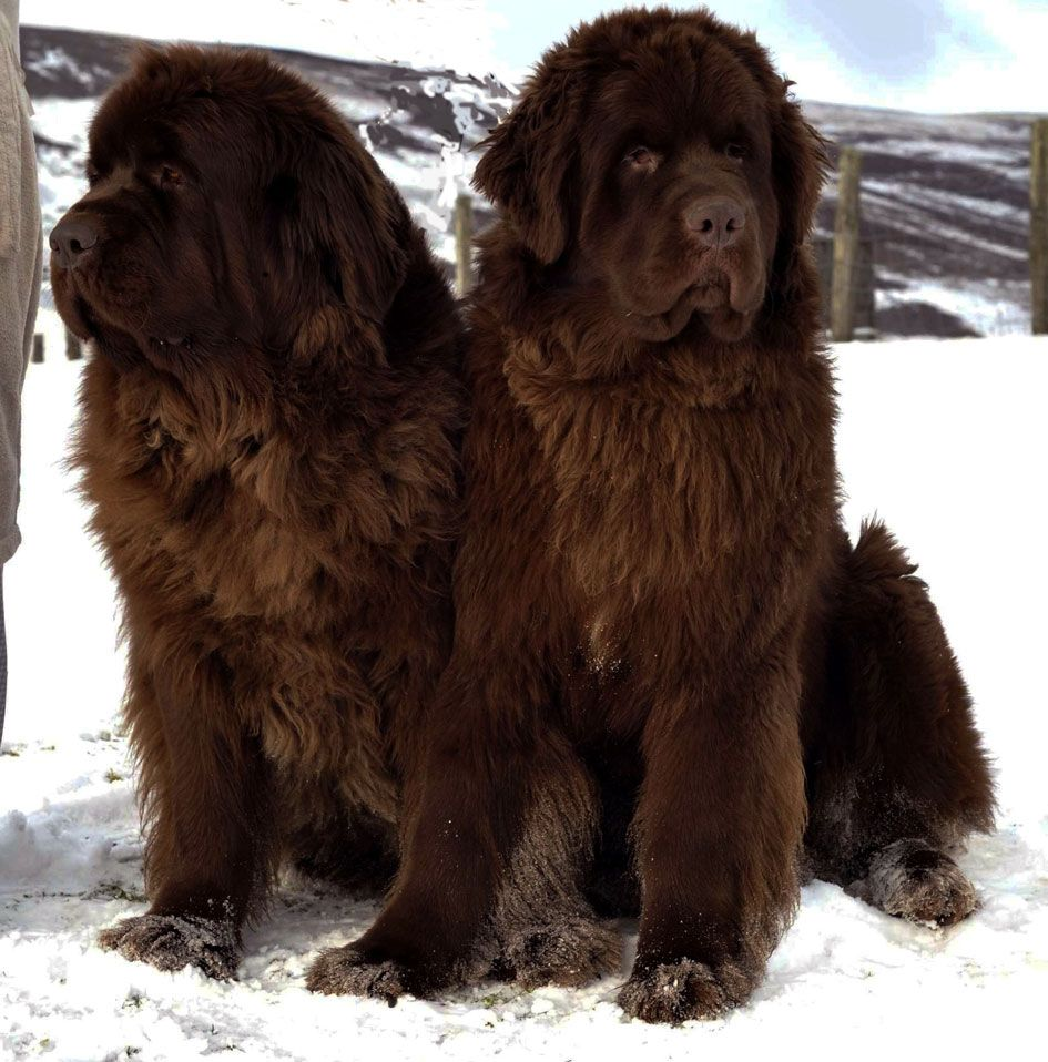Newfoundland Dog Most Beautiful Dog In The World Dogs