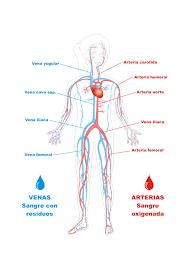 Resultado De Imagen Para Sistema Oseo Para Nin Circulatory System Science Project Board Heart Facts