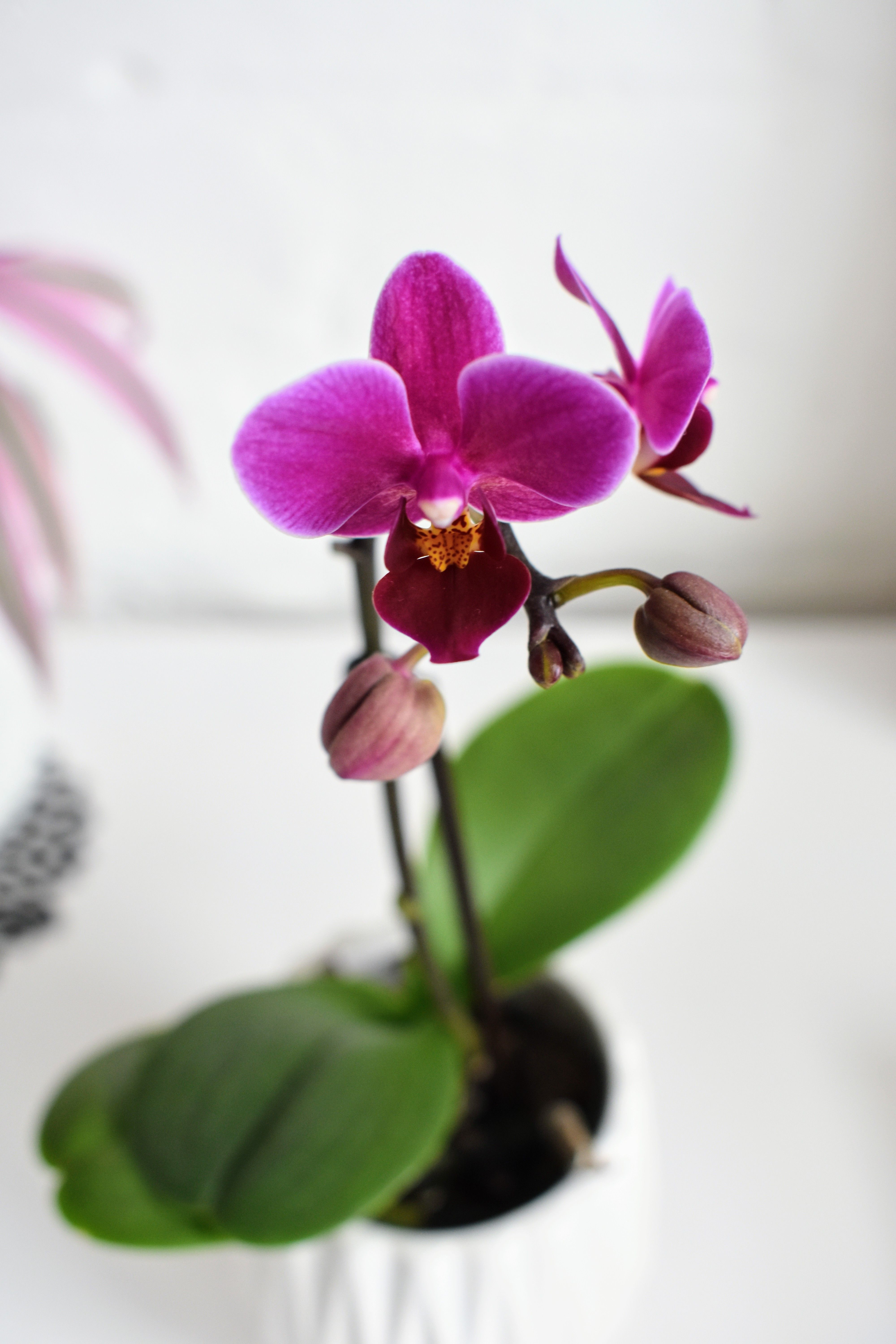 purple orchid flower name