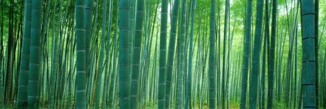 Bamboo Forest, Sagano, Kyoto, Japan Fotografie-Druck von Panoramic Images bei AllPosters.de