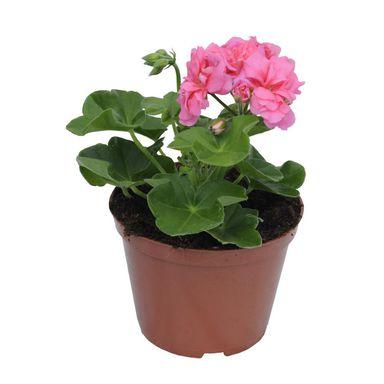 Pelargonia Bluszczolistna Mix 15 30 Cm Kwiaty Balkonowe I Ogrodowe W Atrakcyjnej Cenie W Sklepach Leroy Merlin Plants Planters Planter Pots