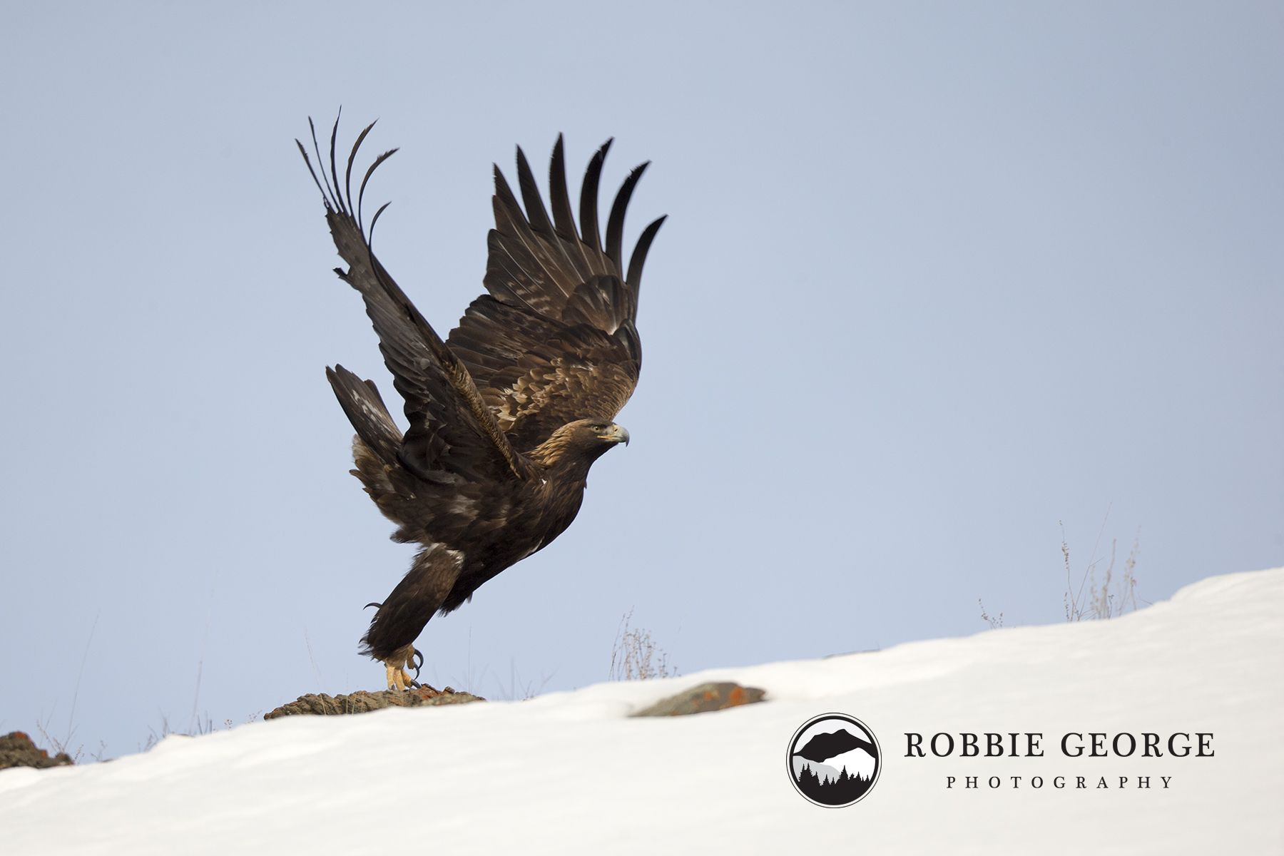 A golden eagle takes off from its perch.
