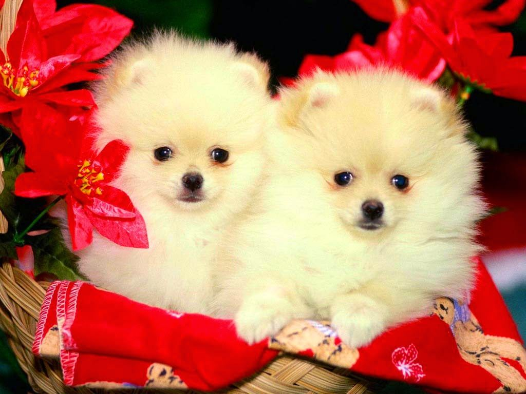 cute puppy wallpaper 1440—900 Cute Puppies Wallpapers