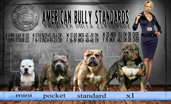 American Bully Standards 1 American Bully Bully Breeds Dogs