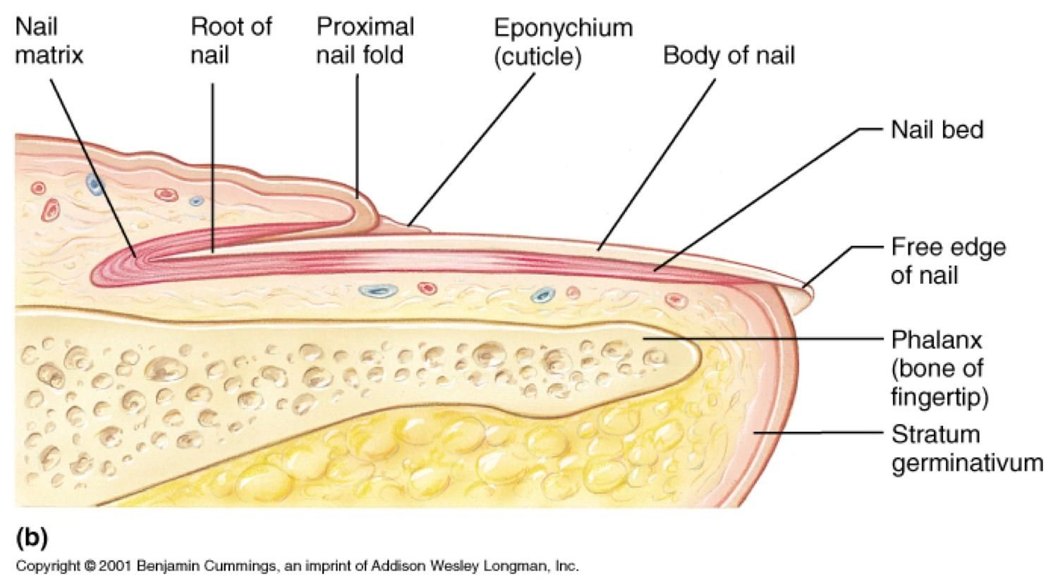 Hyponychium Known Informally As The Quick Of The Nail In