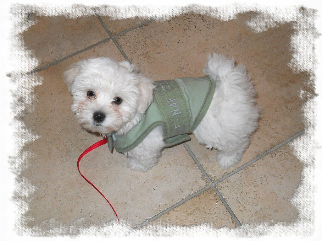 maltese puppy with handmade coat: Neve