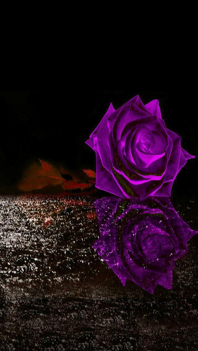 Purple rose on black ice