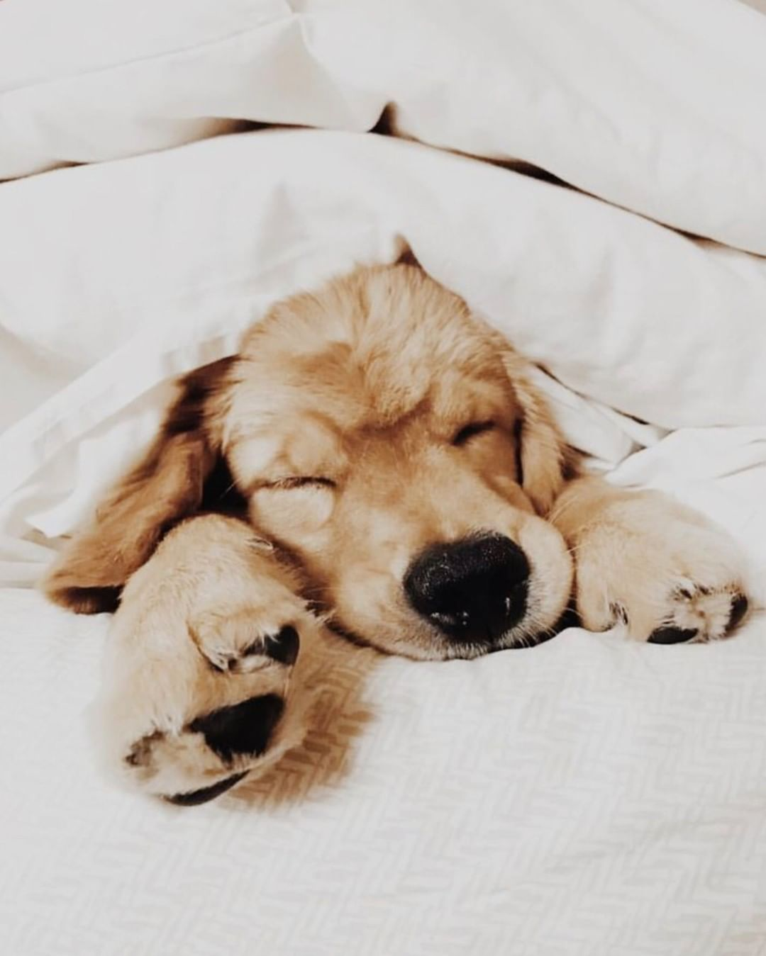 Cute Puppies Golden Retriever Aesthetic With Images Cute