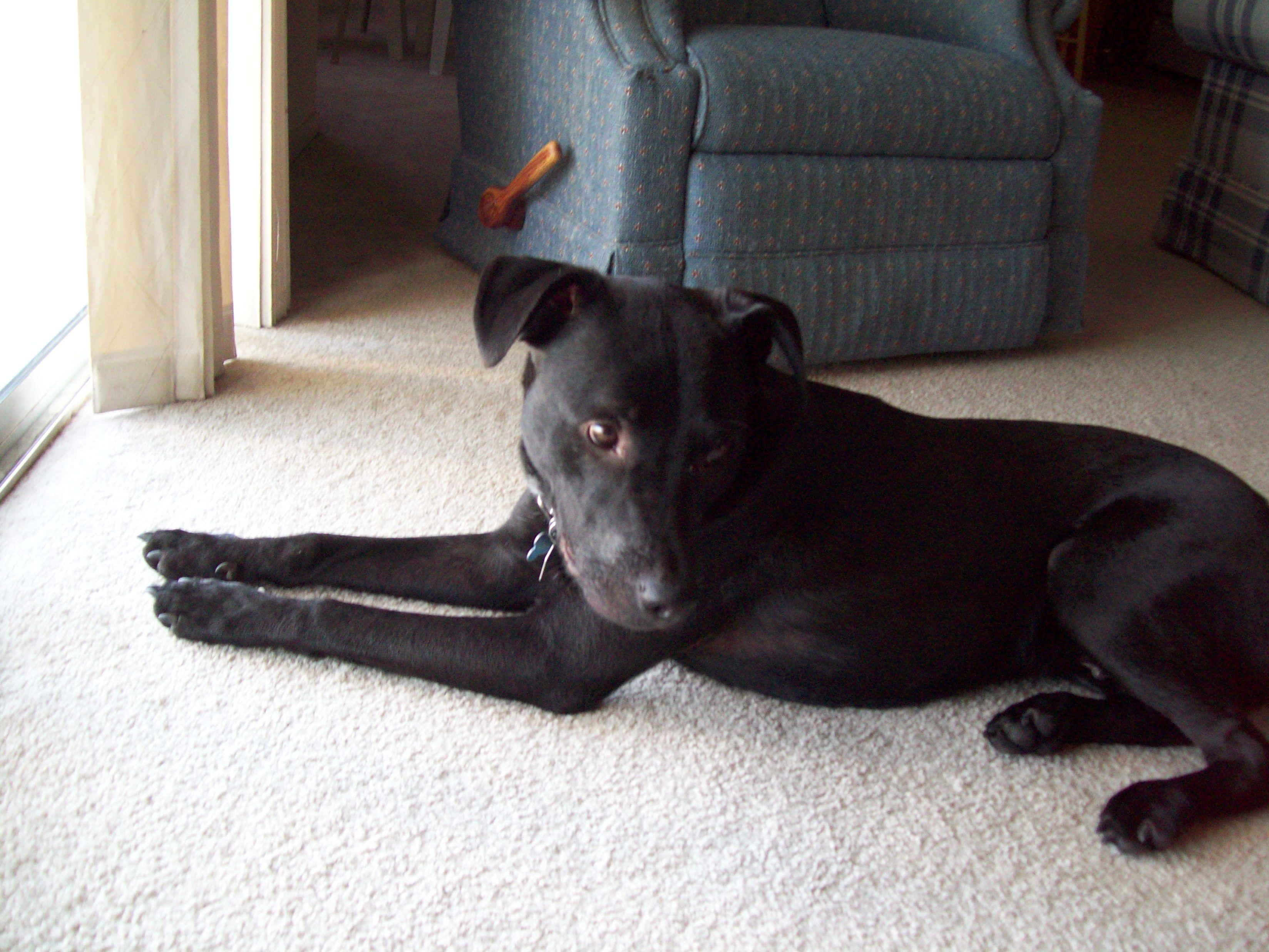 Labrabull 3 Jpg 3296 2472 Pitbull Terrier Terrier Mix