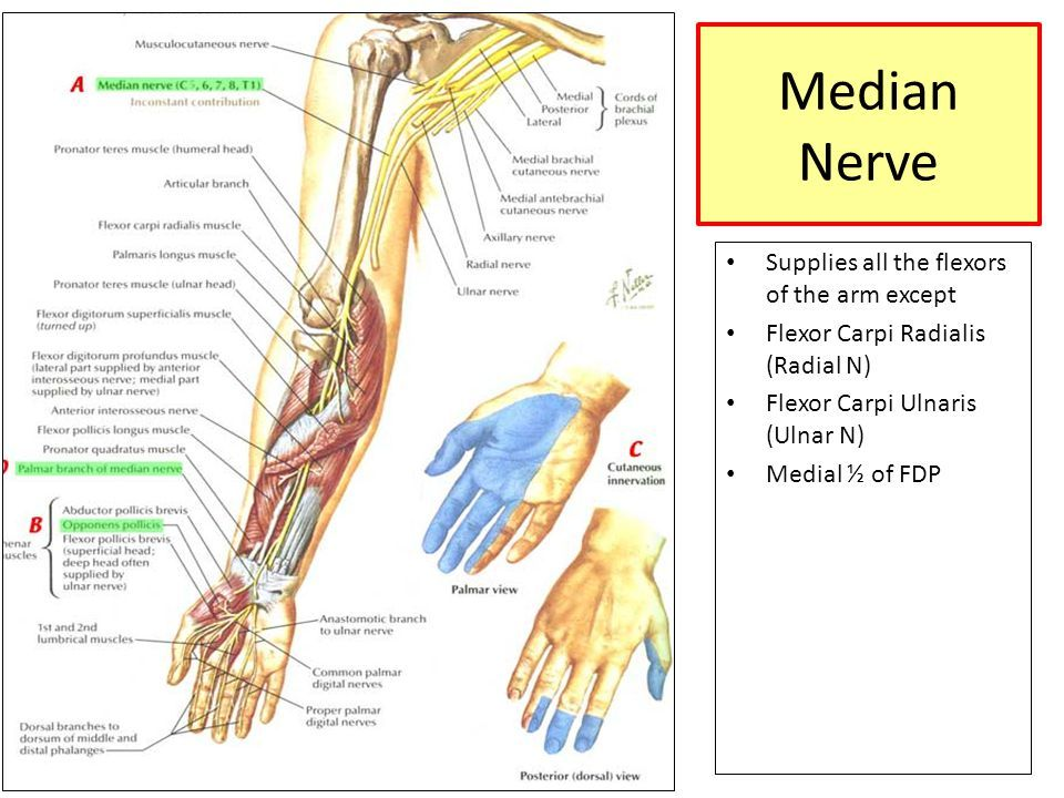 UPPER LIMB MUSCLES OF ARM, CUBITAL FOSSA, AND ELBOW JOINT Dr.Nivin ...