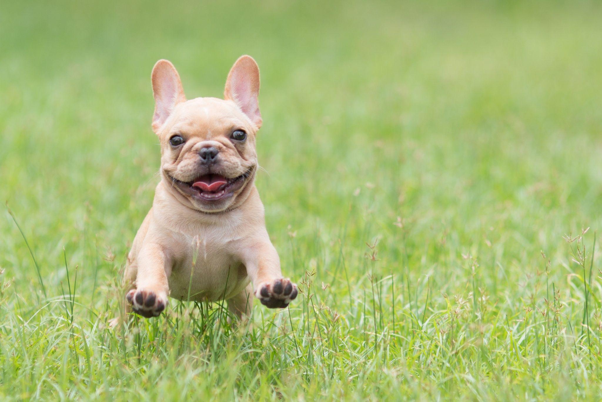 French Bulldogs Running On Grass French Bulldog Puppies Bulldog