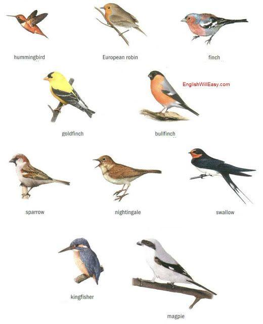 Birds Dictionary For Kids Birds Online Birds Bullfinch