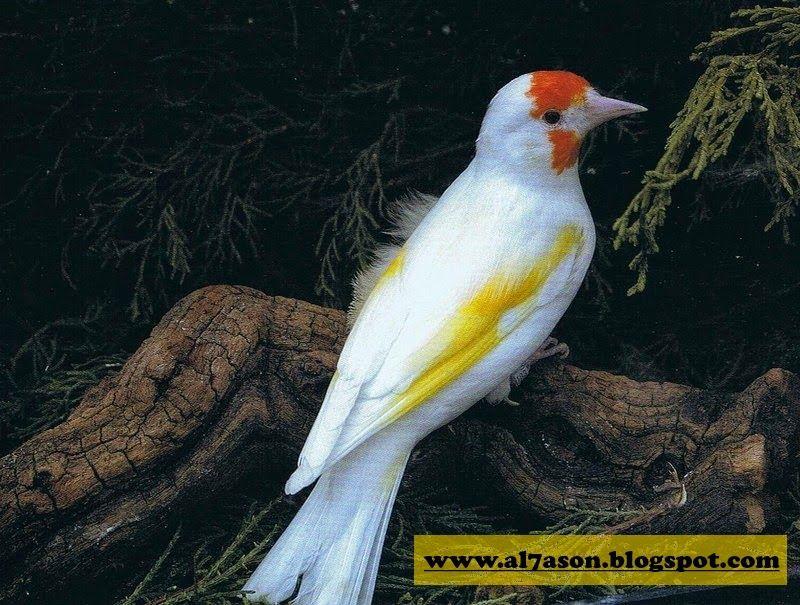 صور لكل أنواع الطفرات عند طائر الحسون Beautiful Birds Finches Bird Animals