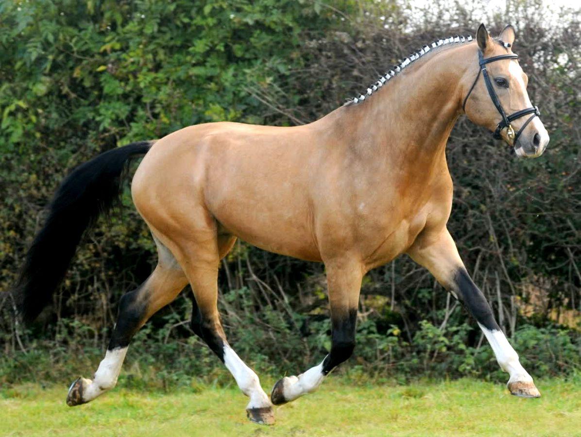 buckskin selle francais warmblood other horses horses warmblood