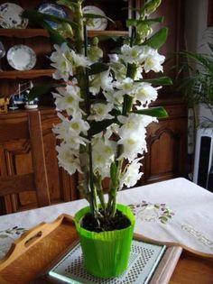 Orchidee Star Class Dendrobium La Guillaumette Bouture
