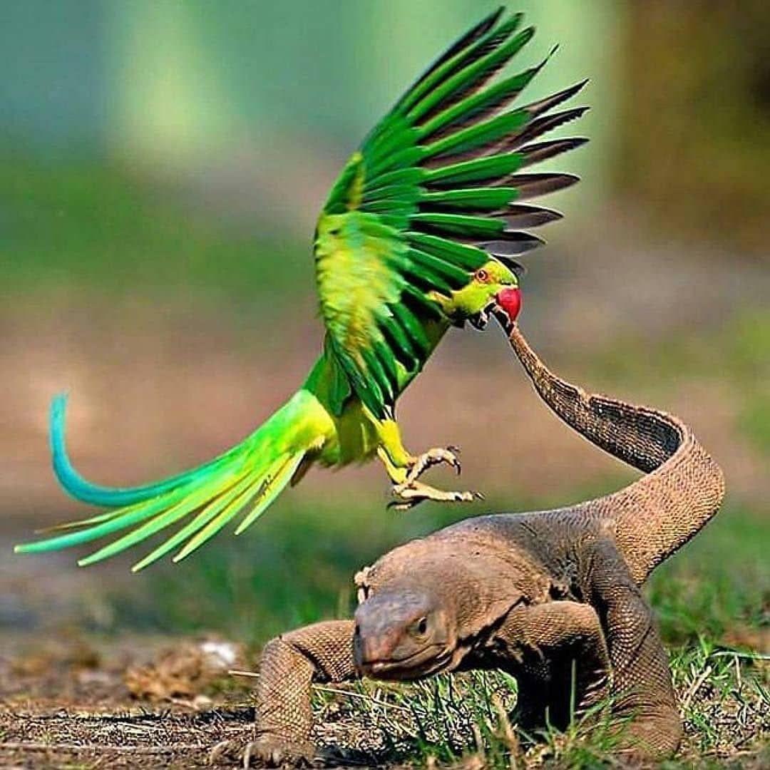 Parakeet defending its nest from a Monitor Lizard