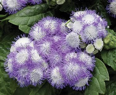 Flossflower