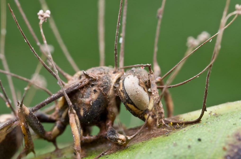 Zombie Ant Fungus Ophiocordyceps Unilateralis Attack 虫