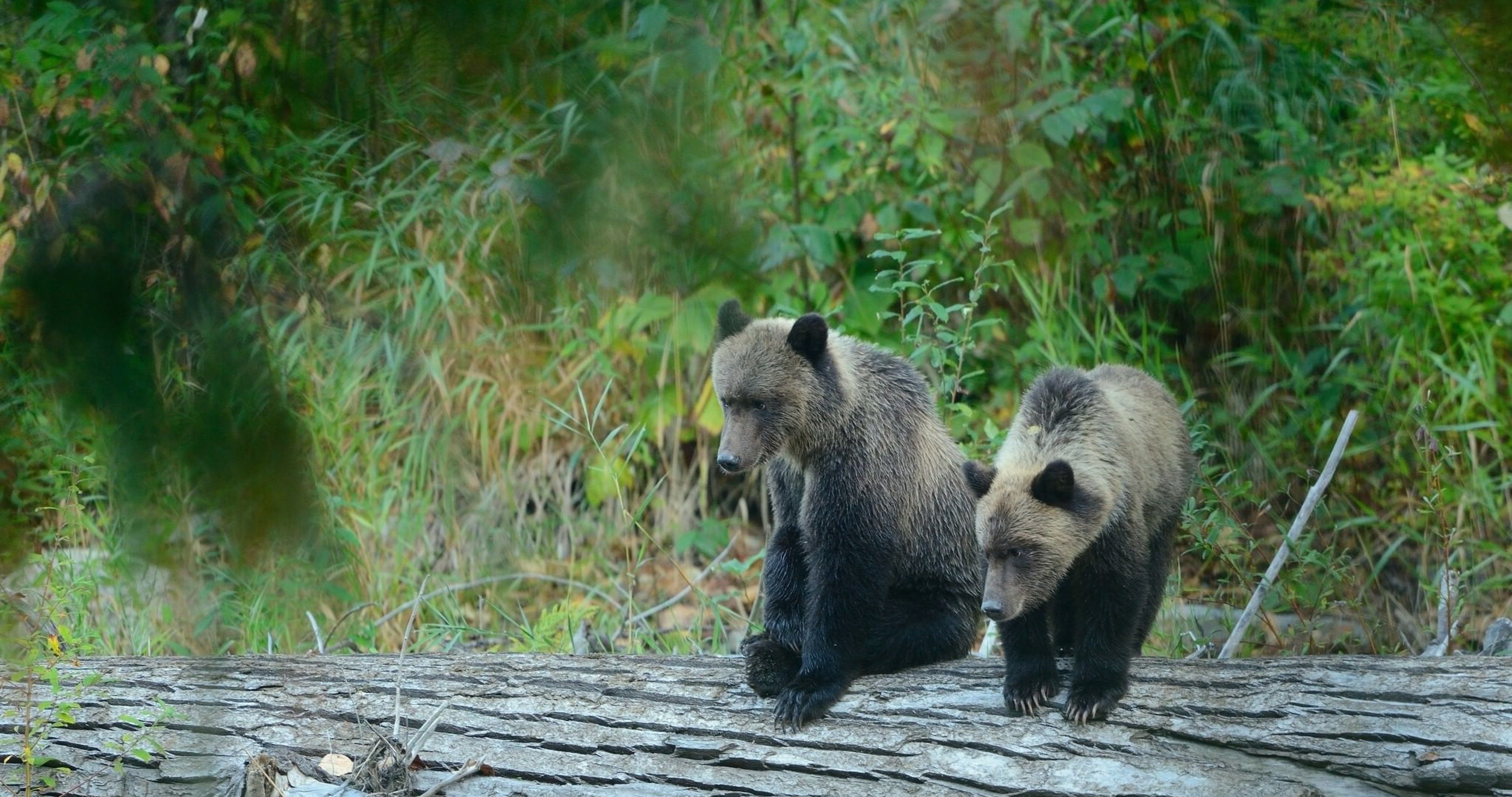 two grizzly bears 4k ultra hd wallpaper Cubs wallpaper