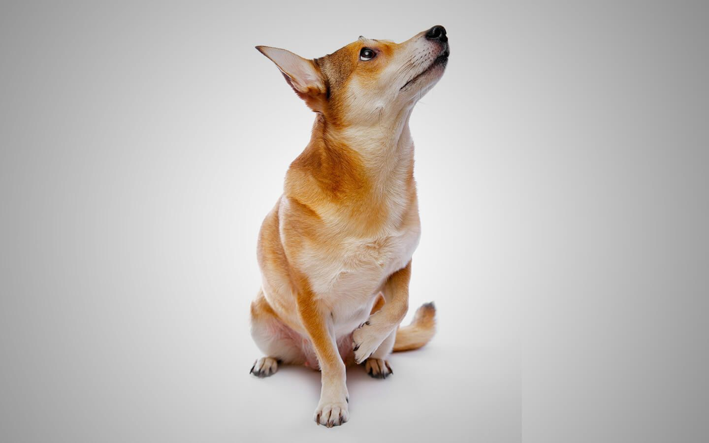 There Are Many Reasons For Dogs Limping From Common Causes Like