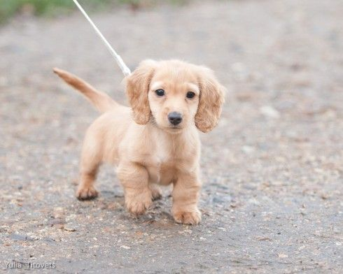 Baby Dachshund On A Walk Dachshund Puppies Baby Dachshund