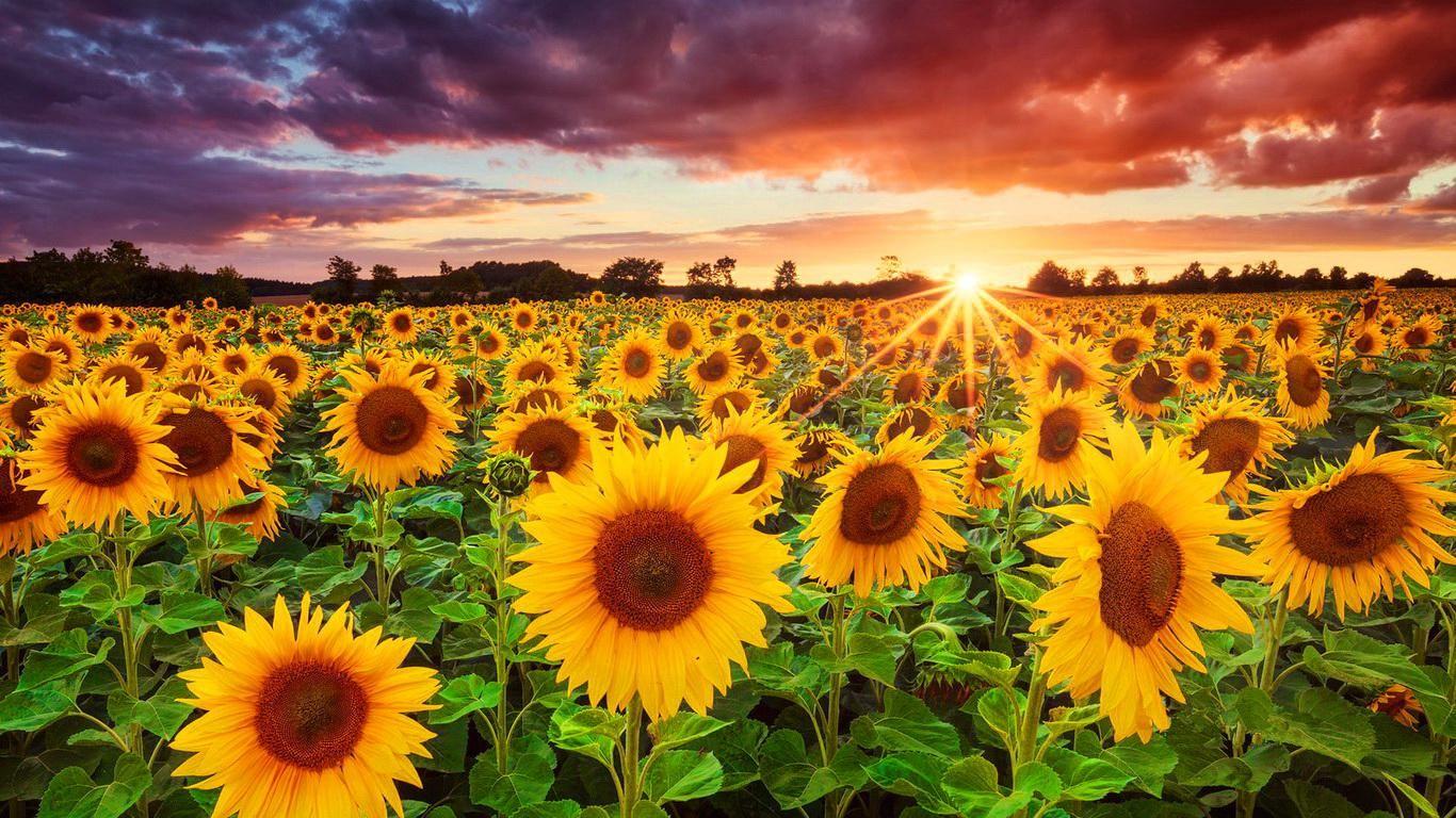 Sunflowers Field Hd Wallpaper Sunflower Sunset Sunflowers Background Sunflower Fields