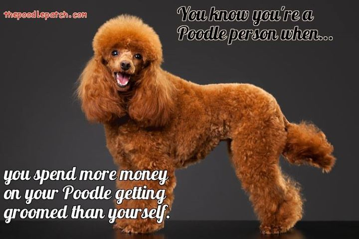 YOU KNOW YOURE A POODLE PERSON WHEN YOU SPEND MORE MONEY ON YOUR POODLE GETTING GROOMED THAN YOURSELF