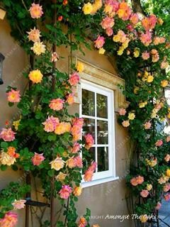 Rose Climbing Rose Seeds 100pcs Garden Design