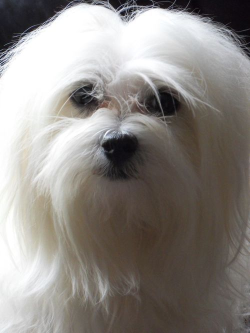 Maltese Dog Http Www Pets4homes Co Uk My Girl Starbaby Was