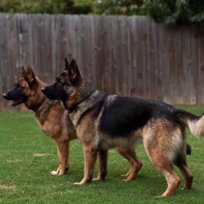 Pin By Janice Hughes On Dogs German Shepherd Dog Shots Luxury Dog