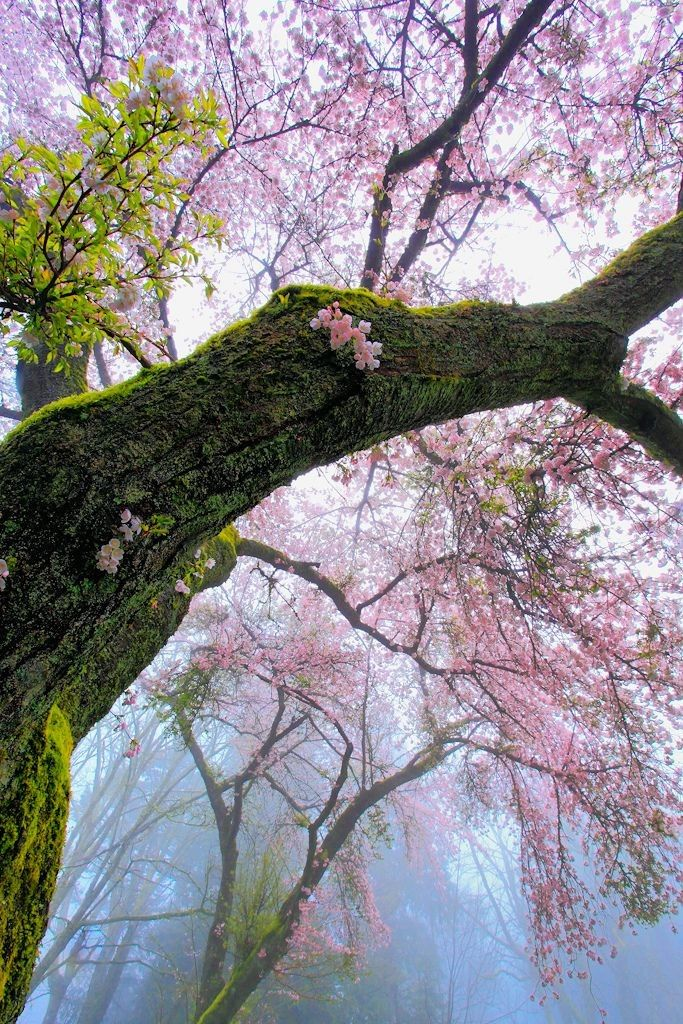 Mossy Cherry tree blossoming in Spring ...