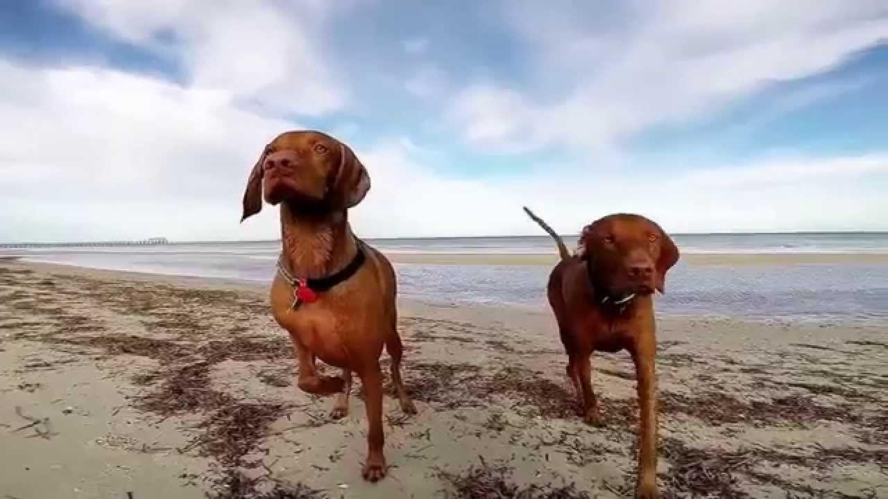 Hungarian Vizslas Ollie And Winston Half Brothers Enjoying Life In Adelaide South Australia Beloved Dog Enjoy Life Dogs