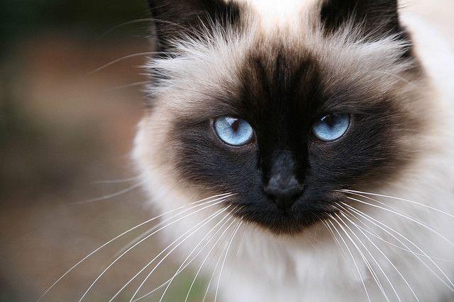 If I ever get a purebred cat, it will be a Birman.