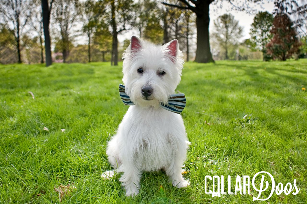 Dog Collar Bow Tie Alfredo is a dapper Highland Westie