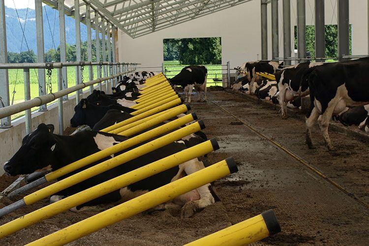 Cattle Barn Design Project Cedarbrink Farm Chilliwack Bc