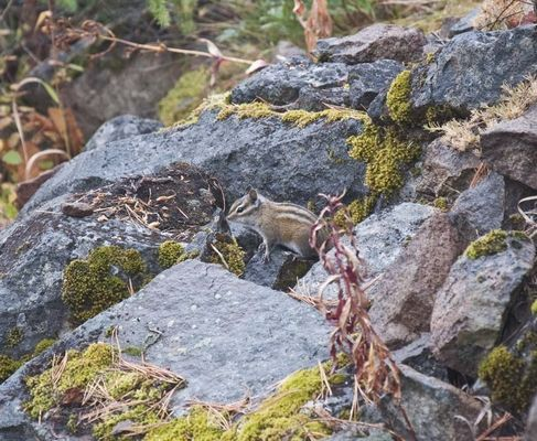 A chipmunk sits on a rock in the Mount Baker-Snoqualmie National Forest