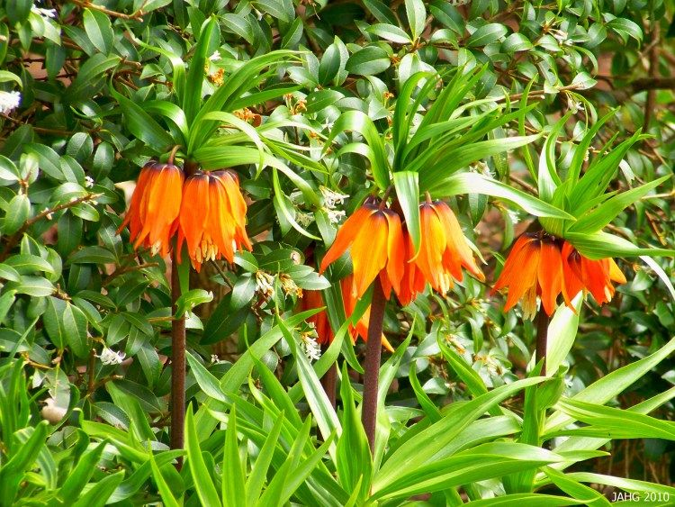 Fritillaria imperialis is also known as the Crown Imperial