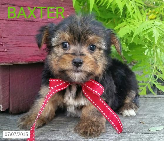 Morkie Puppy For Sale In Ohio Buckeyepupppies Morkie Puppies Morkie Puppies For Sale Puppies For Sale