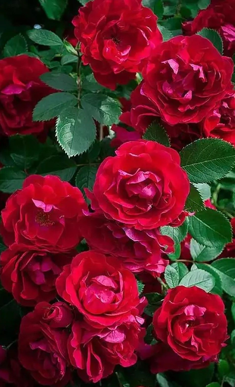 Rosas Rojas Rosas Rojas Hybrid Tea Roses Flowers Y Beautiful Roses