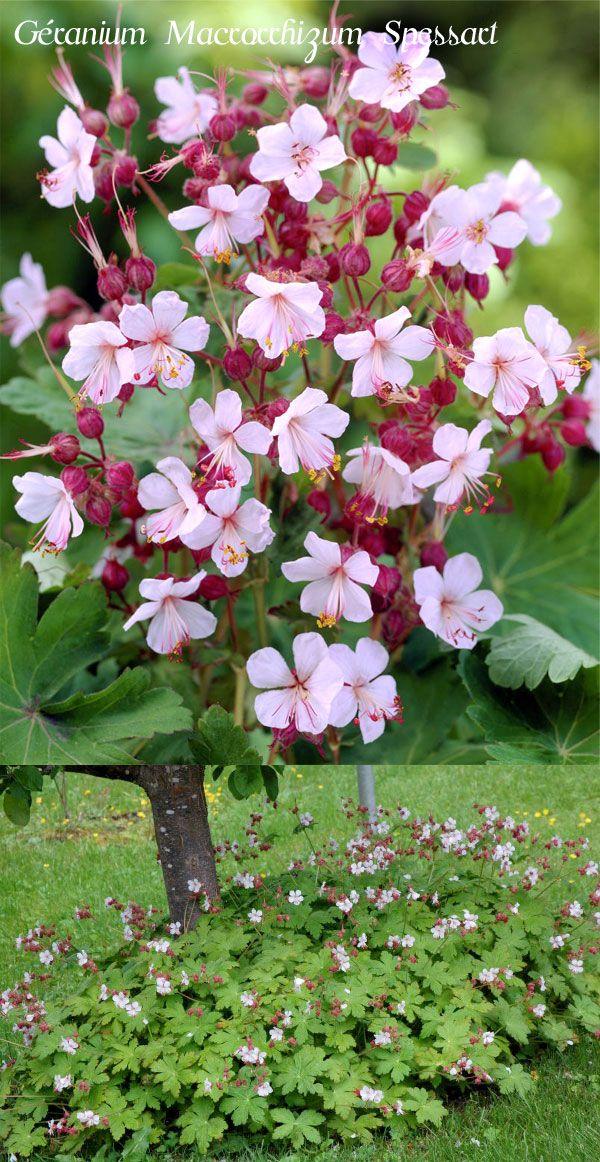 g ranium vivace rhizomateux 39 spessart 39 plante tapissante portant en d but d 39 t des fleurs. Black Bedroom Furniture Sets. Home Design Ideas