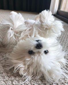 maltese dog #dog (cute_maltese_do